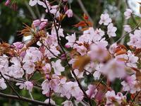 センダイヤザクラ - Magnolia lane 3