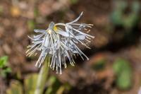 キクザキイチゲ - あだっちゃんの花鳥風月