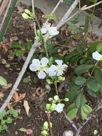 プルーンの花とアナベルの芽吹きとハナニラの花 - いととはり