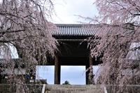 東郷寺の枝垂れ桜 - ぶりんの部屋
