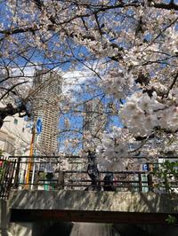 近所の桜「2021年版」その7番外編 - 魔王の独り言 の続編