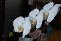 胡蝶蘭 - 幸宗の徒然写真