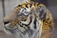 2020.3.16 宇都宮動物園☆アムールトラのアズサちゃん【Amur tiger】 - 青空に浮かぶ月を眺めながら