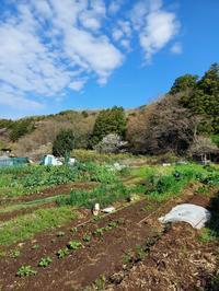 山桜満開の北鎌倉の畑 - 鎌倉fonteの日常