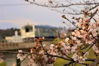 夕暮れの桜 - ゆる鉄DEイコー!