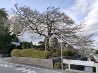 桜の季節 - 猫屋の今日も園芸日和〜ギボウシ達の庭〜