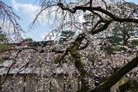 そうだ 京都、行こう   ―   若いと思う 今年の桜は… - ぎゃらりー竹斎堂