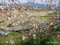 賀茂川の桜も咲き始めています2021年3月23日 - LLC徒然