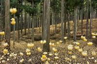 ミツマタの群生地の林三重県美杉町 - 峰さんの山あるき