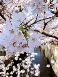【おうちゴハン】桜と桔梗ヶ原メルロー🍷 - casa del sole