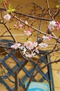 十月桜&スマホ新料金へ! - ハイジの玄関先ガーデン エピソード2♪