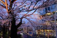 ミッドタウン夜桜 - 錦眼鏡