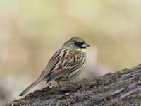 北本自然観察公園にて3/24 - 青い鳥を探して
