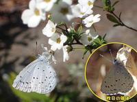 ルリシジミのメス - 秩父の蝶