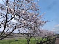 高千穂牧場の桜 - だんご虫の花