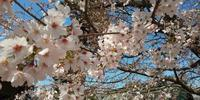 3月25日 「桜始めて開く」・桜について - 煎茶道方円流~東京東支部~