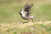 # ガビチョウの歌を聴くモズ - TORI たどり (小鳥、わんこ、写真 ♥)