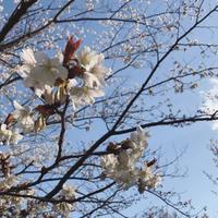 桜咲く - smilemade&happytime