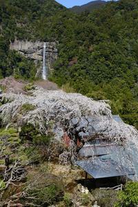 春の那智の滝 - HAPPY to ...