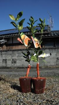 柑橘植えつけ - 居座り君の畑