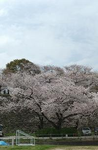 今年も私の桜 - あたりまえなこと~日々徒然~