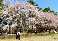 敷島公園の『祇園枝垂れ・孫桜』 - 星の小父さまフォトつづり
