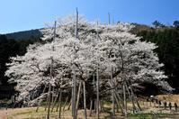 ◆ 昔々の日本三大桜「根尾谷 淡墨桜」(2009年4月) - 空とグルメと温泉と