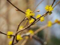 森に早春を告げる 小さな黄色い花たち - 八ヶ岳 革 ときどき くるみ