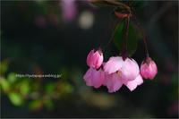 花海棠 - りゅう太のあしあと
