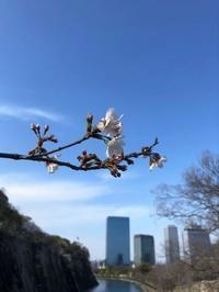 大阪城公園の桜🌸 - ロビンとルークと有のスローライフ ~episode2~