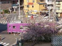 本日の桜 - 京都ときどき沖縄ところにより気まぐれ
