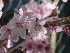 春爛漫! -