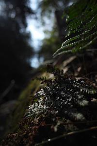 シダの生い茂る森 - 節操のない写真館