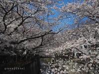 桜2021@目黒川 - Green Floral