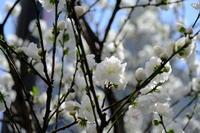 上野の桜 - 錦眼鏡