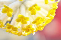 自宅近くのミツマタの花 - ジージーライダーの自然彩彩