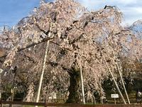 円山公園の枝垂れ桜と八坂さん - 徒然なるままに