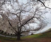 近所の桜(2021年版)その9 - 魔王の独り言 の続編