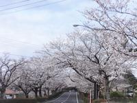 観音池公園通りの桜 - だんご虫の花