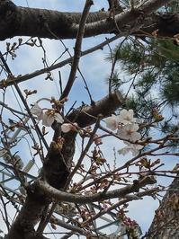 桜が開花して、桜餅買いか? - 【作文・小論文教室】今はじまる未来へ