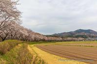 今日の巾着田の桜 - デジカメ写真集