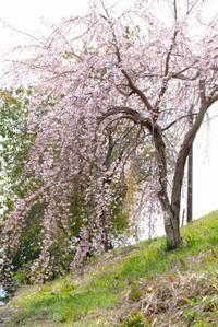 枝垂桜 - 平凡な日々の中で