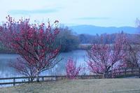 二上山の山桜と馬見丘陵公園の花桃 - 峰さんの山あるき