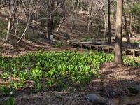 嶺公園のミズバショウ (2021/3/22撮影) - toshiさんのお気楽ブログ