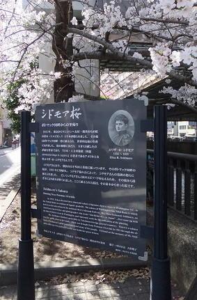 シドモア桜と横浜緋桜 -