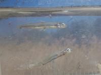 水生生物調査でアユの遡上を確認!(3月) - 葛西臨海公園・鳥類園Ⅱ