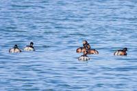 夏羽のハジロカイツブリなど(2021.3.14) - 週末バーダーのBirding記録