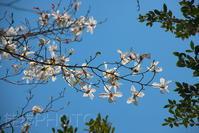 白い花は青空でこそ(2021/03/25) - まるさん徒歩PHOTO 4:SLやまぐち号・山風景など…。 (2018.10.9~)