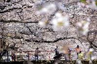 2021 春桜紀行目黒川の桜 - 明日はハレルヤ