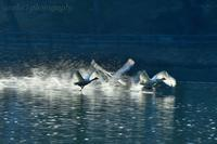 みちのく白鳥たち38 - みちのくの大自然